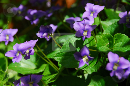 Purple Violets stock photo, Wild violets blooming in late spring close up by Elena Elisseeva