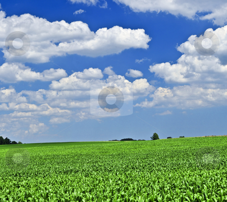 Rural landscape stock photo, Rural summer landscape with green corn field by Elena Elisseeva
