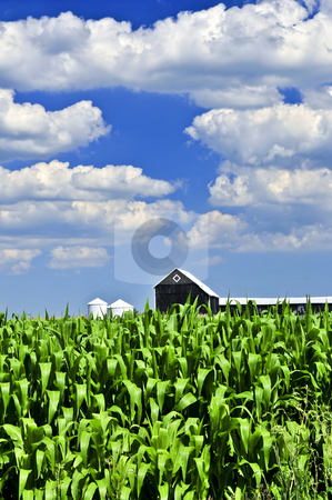 Rural landscape stock photo, Rural summer landscape with green corn field and a farm by Elena Elisseeva