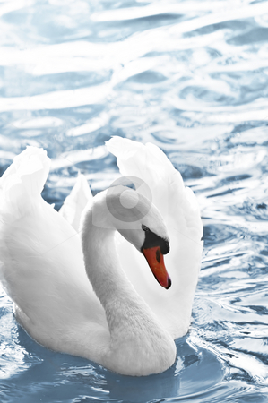 White swan stock photo, Beautiful white swan with raised wings on blue water by Elena Elisseeva
