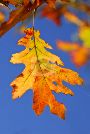 Autumn leaves stock photo, Autumn oak leaves of bright fall colors close up by Elena Elisseeva