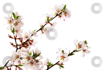 Pink cherry blossom stock photo, Branches with pink cherry blossoms isolated on white background by Elena Elisseeva