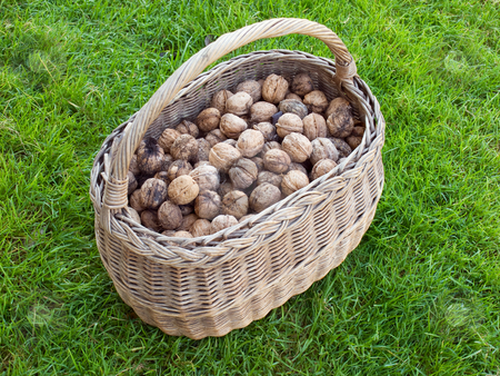 Basket of Walnut stock photo, Lot of walnuts in the basket after gathering. by Sinisa Botas