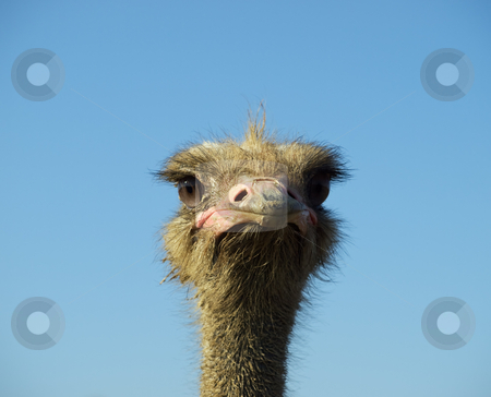 Clever sight of Ostrich stock photo, Portrait of some big and funny bird on a clear sky background. by Sinisa Botas