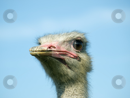 Ostrich face stock photo, Closeup of funny Ostrich face on a clear sky background. by Sinisa Botas