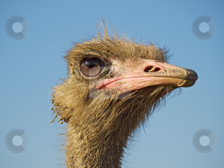 Ostrich profile stock photo, Profile of ostrich face on a clear sky background. by Sinisa Botas