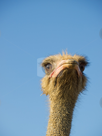 Ostrich thoughts stock photo, Ostrich thinking about his problems under the open sky. Metaphor. by Sinisa Botas