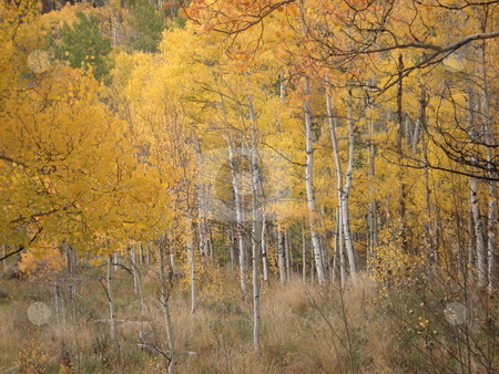 Aspen Trees stock photo, Aspen trees changing color in Colorado in the Fall. by Ben O'Neal