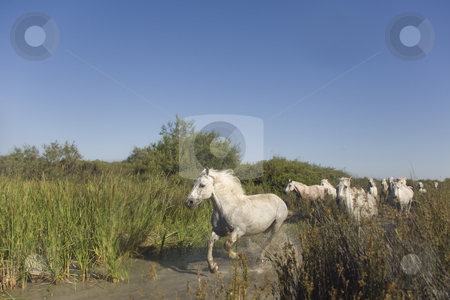 Horses Running stock photo, Light colored horses running through a marsh landscape by Angela Arenal