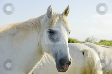 Horse Face stock photo, White horse looking at viewer by Angela Arenal