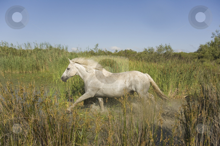 Horse in a Salt Marsh stock photo, Running horse in a marsh by Angela Arenal