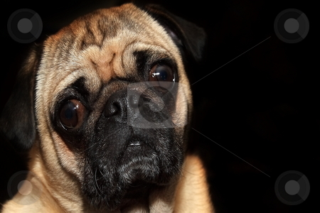 Pug stock photo, Porttrait pug isolated over black with copy space by Jack Schiffer