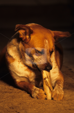 Dog And Bone stock photo, Dog Chewing On A Bone by Mallorey Orcutt