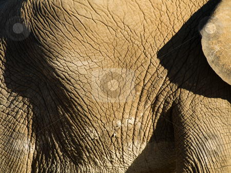 Elephant close up stock photo, Elephant side  close up with some ear by Laurent Dambies