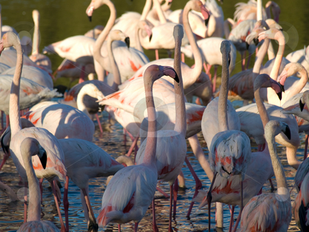 Pink flamingos stock photo, Group of pink flamingos with water reflection by Laurent Dambies