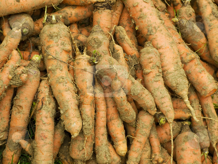 Dirty carrots stock photo, Splodgy but fresh carrot immediately after harvest. by Sinisa Botas