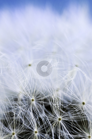 Dandelion stock photo, Macro of dandelion seeds on blue sky background by Elena Elisseeva