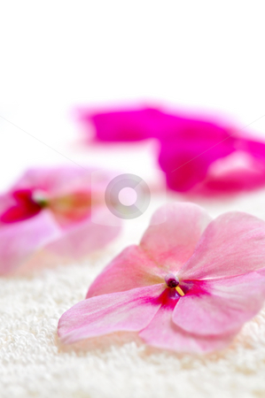 Gentle flower on luxury towel stock photo, Gentle fresh flower on luxury towel close up by Elena Elisseeva