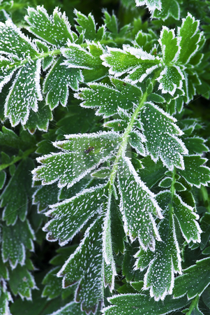 Frosty plants in late fall stock photo, Macro of frosty plant leaves in late fall by Elena Elisseeva