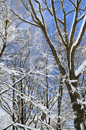 Winter trees and blue sky stock photo, Winter trees covered with fresh snow on blue sky background by Elena Elisseeva
