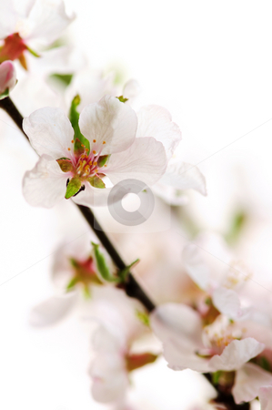 Pink cherry blossom stock photo, Macro of pink cherry blossoms isolated on white background by Elena Elisseeva