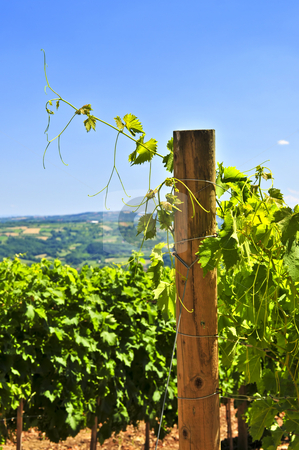 Landscape with vineyard stock photo, Summer landscape with vineyard in rural Serbia by Elena Elisseeva
