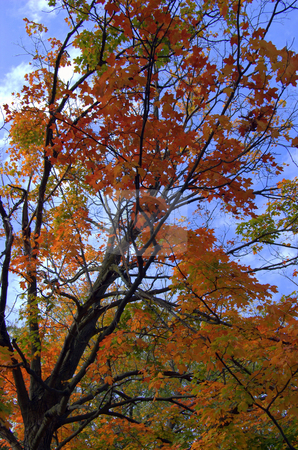 Maple tree at peak fall color stock photo,  by Heather Shelley