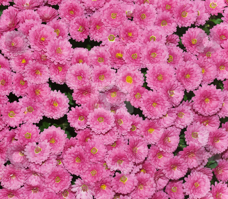Chrysanthemum stock photo, Pink chrysanthemum flowers in full bloom in autumn by Ivan Paunovic