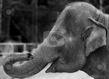 Portrait of an elephant stock photo, BW version of the Indian Elephant, seen in Copenhagen ZOO, Denmark by Flemming Jacobsen
