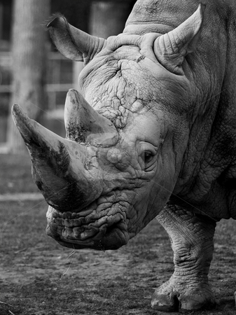 Rhino stock photo,  by Flemming Jacobsen