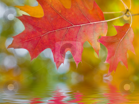 Beautiful autumn red oak leaves reflection stock photo, Beautiful autumn red oak leaves reflecting in river by Laurent Dambies