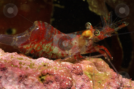 Shrimp with Eggs stock photo,  by Greg Amptman