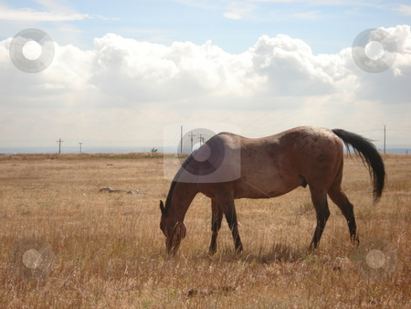 Grazing Horse in Colorado Pasture stock photo, A horse grazes in an open Colorado field under a cloudy sky in Summer. by Ben O'Neal