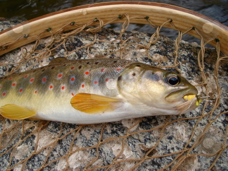 Brown Trout in the Net stock photo, A brown trout caught in the net before being release back into a Colorado stream. by Ben O'Neal