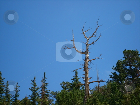 Trees in the Clear Blue Sky stock photo, Colorado sky and trees on a hike in the Summer. by Ben O'Neal