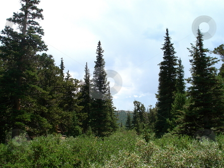Colorado Evergreens stock photo, Pine trees are all over the place on a hike in the Colorado mountains. by Ben O'Neal