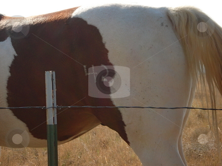 Horse Tail stock photo, A brown and white horse wags its tail while it grazes on the grass in a Colorado Pasture. by Ben O'Neal