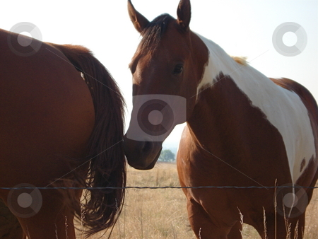 Horses Grazing in Colorado stock photo, Two horses together eating ang playing near a barbed wire fence in a Colorado Field. by Ben O'Neal