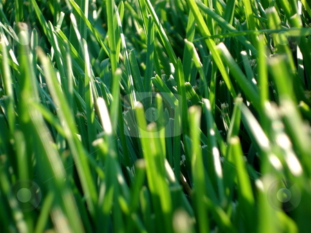 Blades of Green Grass stock photo, Blades of green grass sprouting up all over the place. by Ben O'Neal