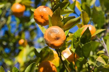 Mandarins stock photo, Mandarins growing on a tree by Nicholas Rjabow