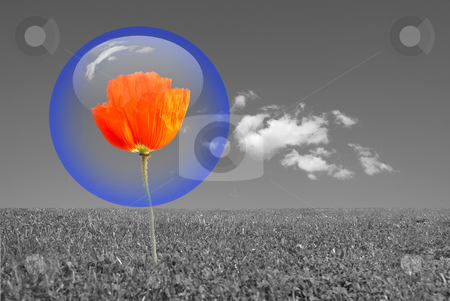 Bubble stock photo, Red poppy protected by a blue bubble in a grey environment . Nature protection concept. by Serge VILLA