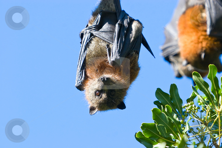 Bats stock photo, A bat hanging in a tree against a blue sky by Nicholas Rjabow