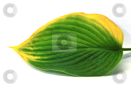 Leaf turning yellow stock photo, Leaf going from green to yellow in early autumn by Per W?