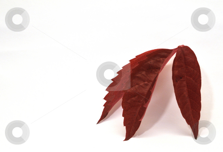 Red leaves stock photo, Three red leaves by Per W?