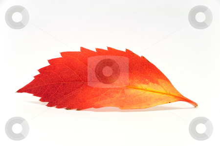 Red leaf stock photo, A red and yellow leaf by Per W?