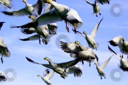 FLIGHT stock photo, SNOW GEESE IN FLIGHT by Johnny Roberts
