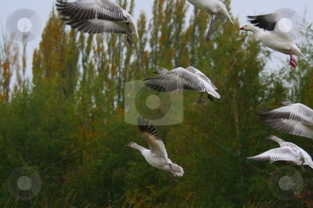 SNOW GEESE stock photo, SNOW GEESE IN FLIGHT by Johnny Roberts
