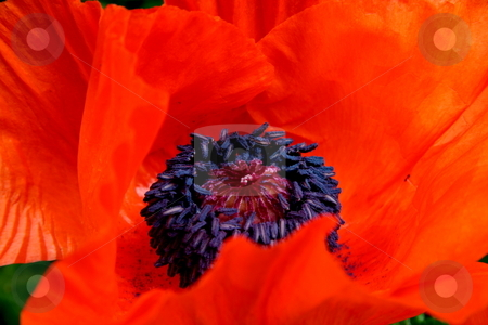 POPPY stock photo, POPPY by Johnny Roberts