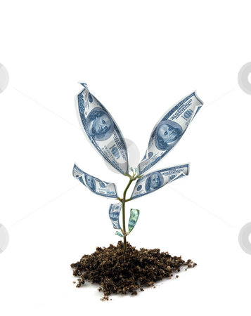 Money plant stock photo, Dollar money plant isolated on white by Nicolas Nadjar