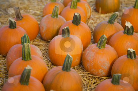 Halloween mini pumpkins stock photo, Small pumpkins piled together on hay by Mitch Aunger